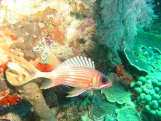 Soldier Fish - Diving in Martinique