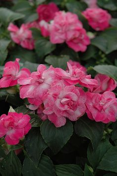Fiesta Stardust Pink Double Impatiens (Impatiens 'Fiesta Stardust Pink') Shade to part shade; blooms late spring to mid summer; dense annual plant with mounded form. About h x 12 spread. Good for containers , border edging Impatiens Flowers, Double Impatiens, Planting Flowers, Flower Gardening, Shade Garden, Garden Plants, Flowering Plants, Bountiful Garden, Gardening