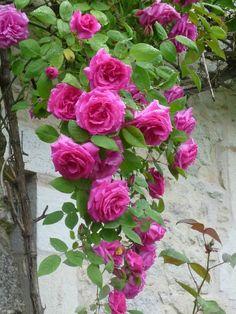 Garden Flowers - Annuals Or Perennials Rosier Grimpant Zephirine Drouin 1868 Amazing Gardens, Beautiful Gardens, Beautiful Landscapes, Rose Foto, Plant Background, Rosa Rose, Climbing Roses, Landscaping Plants, Farmhouse Landscaping
