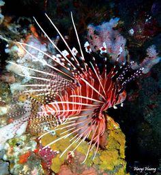 Spotfin Lionfish(Pterois antennata) taken in tulamben wall,bali,Indonesia