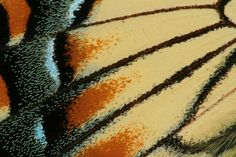 butterfly wings close up | Close-up image of the wing scales of a male eastern tiger swallowtail ...