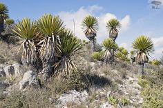 Mittie Roger - Real de Catorce and Hiking the Huicholes' Sacred Mountain #Mexico #rd14 #nativeflora