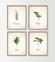 Kitchen Prints - Set of 4 Herbs Kitchen Wall Decor - Dining Room Decor - Culinary - Food Art - Cooking Art - Basil Sage Rosemary Parsley