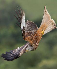 Harris Hawk (Parabuteo unicinctus) in a dramatic dive. All Birds, Birds Of Prey, Nature Animals, Animals And Pets, Beautiful Birds, Animals Beautiful, Red Kite, Photo Animaliere, Peregrine Falcon
