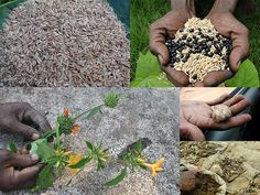 Indigenous Medicinal Rice Formulations for Kidney, Heart and Spleen Diseases and Cancer and Diabetes Complications (TH Group-119 special) from Pankaj Oudhia's Medicinal Plant Database