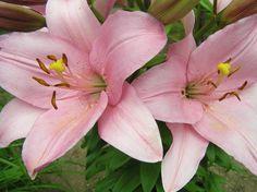 Rózsaszín liliomok