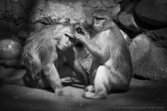 Rhesus macaque by Amit Kaushal on 500px