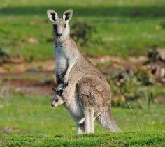Skippy with little Jack. Australia