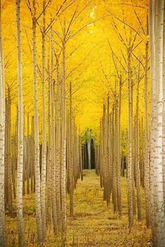 Amazing Aspen Trees in Colorado saved from Google+