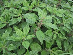 Alfavaca-Cravo tem vários benefícios, é uma planta medicinal. O Alfavaca-Cravo pode ser encontrado em todo território brasileiro. Seu sabor é muito similar