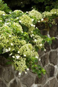 climbing-hydrangea