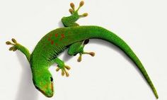 Gecko - On the ceiling, behind the picture frame, climbing up the wall...