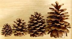 Large Wholesale Pinecones for Sale | Pine Cones of the Northwest Pine Cones For Sale, Pinecone Tattoo, Greenhouse Wedding, Blue Spruce, Pine Cone Crafts, Cute Wedding Ideas, Pine Tree, Craft Supplies, Craft Projects