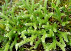 Lycopodium clavatum in Omeopatia Health, Plants, Biscotti, Brain, Beauty Tutorials, Clean Foods, The Brain, Health Care, Plant