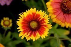 A törpe kokárdavirág (Gaillardia x grandiflora 'Goblin') gondozása - CityGreen. Mickey Mouse, Gardening, Green, Flowers, Plants, Goblin, Gardens, Lawn And Garden, Plant