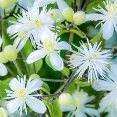 Bachblüte Nr. 9: Clematis ist die Realitätsblüte. Sie holt Tagträumer wieder in die Realität zurück. Sie ist auch Bestandteil der Bachblüten-Notfallmischung ...
