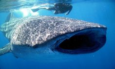 Tiburón ballena  http://www.melodijolola.com/viajes/el-paraiso-mas-cerca-de-lo-que-crees-holbox