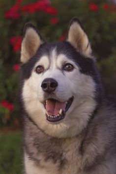 Alaskan Husky ~ Timber by Brian Cross**
