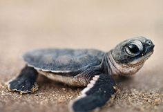 Green sea turtle hatchling in Surinam, South America -- Frans Lanting/Corbis