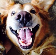 23 reasons golden retrievers are the goofiest member of the animal kingdom http://bzfd.it/1OaE4eI