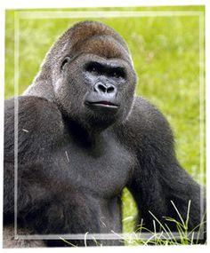 Have always loved gorillas.