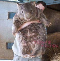 World's oldest wombat is super cute, super HUGE!!