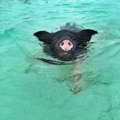 The Exuma Cays have some famous residents. Stars like Oprah, Johnny Depp, Nicholas Cage and Faith Hill and Tim McGraw all own islands there. But the Exuma Cays have another unlikely star. Swimming with the pigs in The Bahamas is topping many travelers' bucket lists these days and when a pack of porkers start doggy [...]
