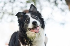 © Alice G Patterson Photography | Daily Dog Tag | Syracuse-Dog-Photographer, Handsome-senior-Border-Collie, #bordercollie