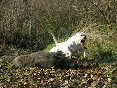 Dogo Argentino vs wild boar55677