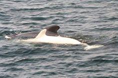 Albino Pitot whale