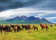 Isländer-Pferde auf der Koppel