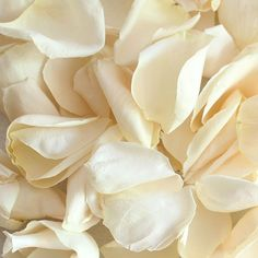 Biodegradable Freeze Dried Wedding Rose Petals in Ivory -  8 Cups  Perfect for your flower girls to throw on your wedding day.