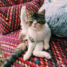 "From @gru_thecat: ""Yoga cat!!!"" #catsofinstagram [source: http://ift.tt/1FGrFHN ]"
