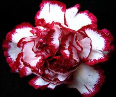 red and white carnation - flower, red, carnation, white Red Bouquet Wedding, Wedding Flowers, Wedding Colours, White Carnation Bouquet, My Flower, Flower Power, January Birth Flowers, Carnations, Daffodils