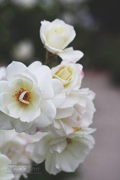 Flower Photograph Roses Blossom Petals White by SweetEventide اللون الأبيض الساحر !!