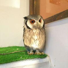ライトアップスカラ 若干ホラー?(笑) #ふくろうの里原宿店 #ふくろうの里 #ふくろう #アフリカオオコノハズク #スカラ#ライトアップ #原宿 #owlvillageharajuku #owlvillage #owl #scholar #light #orange #harajuku #animal #ふわもこふくろう部