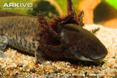 See photos of the Achoque on ARKive. Classified as Critically Endangered (CR) on the IUCN Red List.