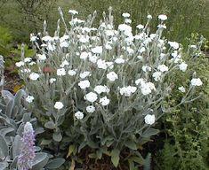 Lychnis coronaria 'Alba' - white rose campion