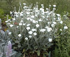 A is for Alba - Lychnis coronaria 'Alba' - white rose campion