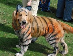 golden retriever, Bronzon, in the winning tiger costume at the San Diego Golden Retriever Meetup Group's Halloween Pooch Party in San Diego