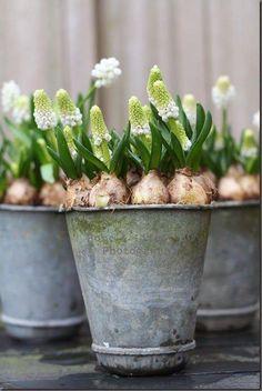 spring bulb flowers in the cottage style, zinc pots , white flowers, winter spring decor, garden idea Bulb Flowers, Love Flowers, Spring Flowers, White Flowers, Beautiful Flowers, Flower Pots, Beautiful Things, Garden Bulbs, Garden Pots