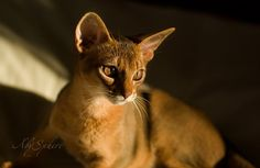 Abyssinian cats by AbySphere