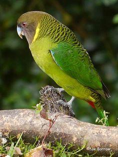 Brehm's Tiger-parrot, Papua New Guinea
