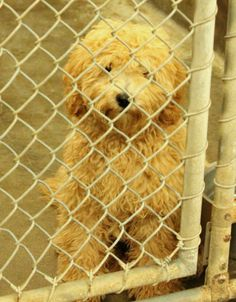 Yes this is a dog! Not a stuffed toy! She's a Poodle (mix?) available for adoption NOW 5-23!! Can't get any cuter than this! Please don't leave her in the shelter over the long weekend. Take her home today! Kennel A22. Odessa TX. https://www.facebook.com/speakingupforthosewhocant/photos/a.248402621850650.69312.248355401855372/779252948765612/?type=1&theater