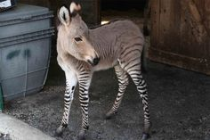 Half Zebra-Half Donkey Is 100% Adorable.A zonkey is a rare crossbreed, love child of a male zebra and a female donkey. This one is called Ippo, and she's the only one of her kind in all of Italy. I mean, it's like she's wearing striped tights on her little zonkey legs! As she grows, she will have the overall look of a donkey, but gets to keep her striped leggings.