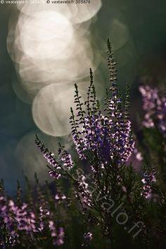 Kanerva kesäillassa - kanerva iltavalo vastavalo heijastus kukka kukinto lila ilta kesäilta tunnelma