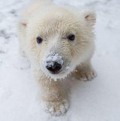 Polar bear cub Luna at Buffalo Zoo