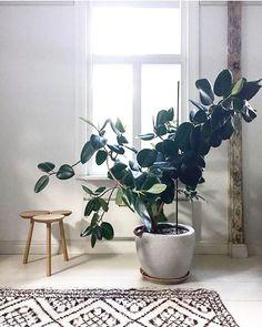 Plante de cautchou
