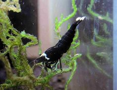 Black King Kong Shrimp