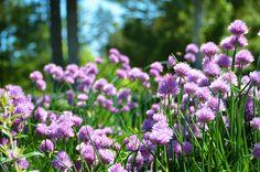Chives - Allium scho